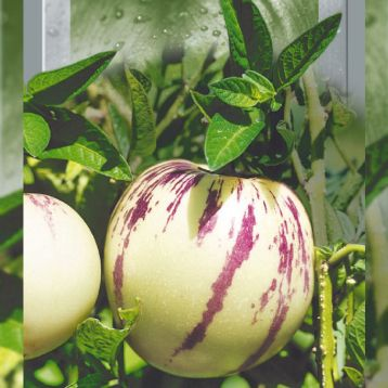 Пепино семена окр. бел. (Seedera)