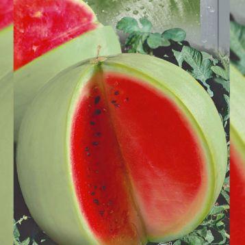 Цельнолистный семена арбуза раннего 75-85 дн. окр. 3-5 кг св.-зел. (Seedera)