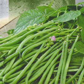Людмила вигна семена фасоли китайской желтой (Seedera)