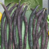Блаухильде семена фасоли спаржевой вьющейся фиолет. (Seedera)