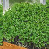 Гладколистный семена кресс-салата раннего 20-28 дн. зел. (Seedera)
