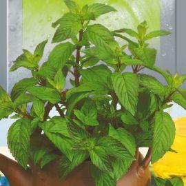 Мята перечная семена (Seedera)