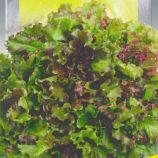 Салат балконный красный семена (Seedera)