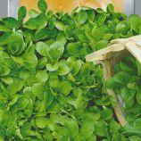 Валерианелл салатная семена (Seedera)
