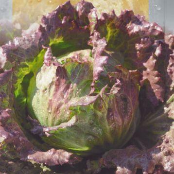 Айсруж семена салата тип Айсбер кочан. крас. (Seedera)