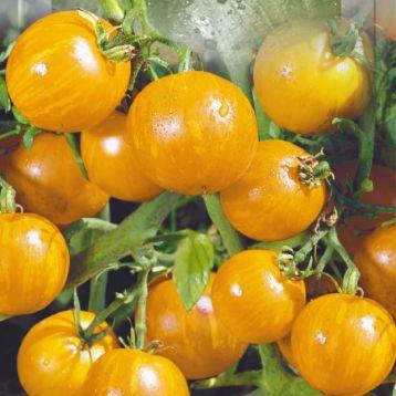 Вернисаж желтый семена томата индет. среднего окр. 40-60г полосат. желт. (Seedera)