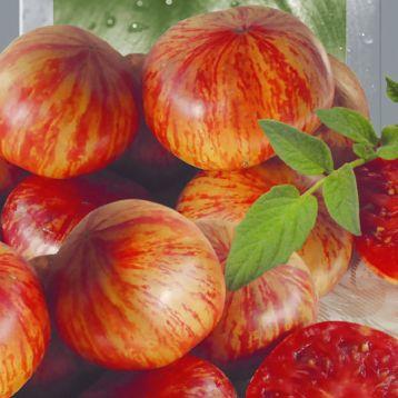 Хамелеон семена томата индет. среднего окр.-прип. 100-200г полосат. зелен-крас. (Seedera)