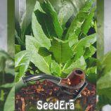 Вирджиния семена табака курительного (Seedera)