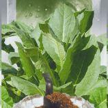 Пунта де Ланца насіння тютюну курильного (Seedera)