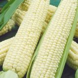 Белоснежка семена кукурузи сладкой Sh2 среднеранней 80-85дн. 18-20см 200-250гр бел. (Семена Украины)