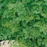 Кервель ажурный семена (Семена Украины)