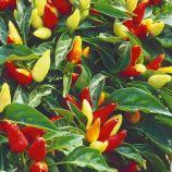 Маленькое чудо семена перца декоративного крас. (Семена Украины)