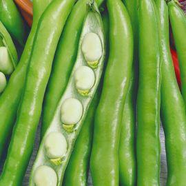 Свисающий зелёный семена бобов (Семена Украины)