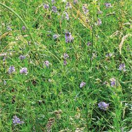 Люцерна семена (Семена Украины)