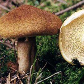 Болетинус полоножковый мицелий (УкрМицелий)
