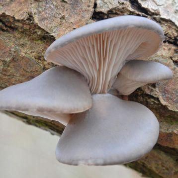 Вешенка морское ушко мицелий (УкрМицелий)