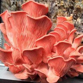 Вешенка розовая (Розовый фламинго) мицелий (УкрМицелий)