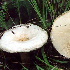 Волнушка белая мицелий (УкрМицелий)