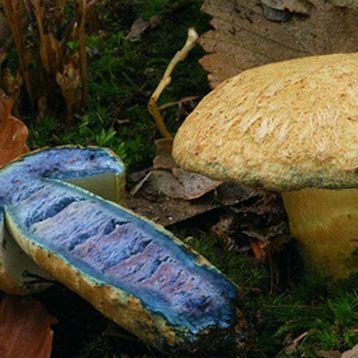 Гиропорус синеющий (Синяк) мицелий (УкрМицелий)