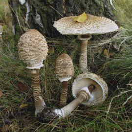 Гриб-зонтик пестрый (большой, высокий) мицелий (УкрМицелий)