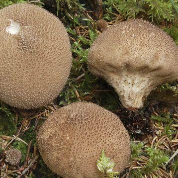 Дождевик умбровый (коричневый) мицелий (УкрМицелий)