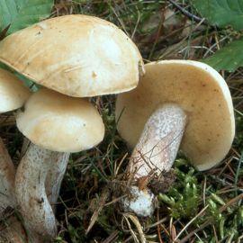 Масленок белый мицелий (УкрМицелий)