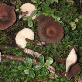 Млечник древесинный (Млечник бурый, Груздь мавроголовый) мицелий (УкрМицелий)