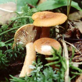 Млечник неедкий (Млечник оранжевый) мицелий (УкрМицелий)