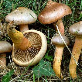 Мокруха пурпуровая (слизистая, блестящая, желтоногая, пурпурная, сосновая, Желтоног медно-красный) мицелий (УкрМицелий)