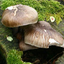Плютей олений (Олений гриб) мицелий (УкрМицелий)