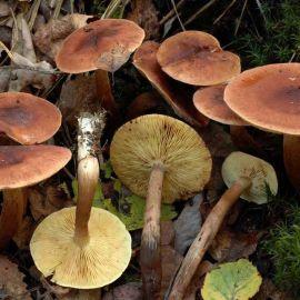 Рядовка красно-бурая (бурая, буро-желтая, желто-коричневая) мицелий (УкрМицелий)