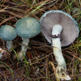 Строфария сине-зеленая (Псилоцибе аеругиноса) мицелий (УкрМицелий)