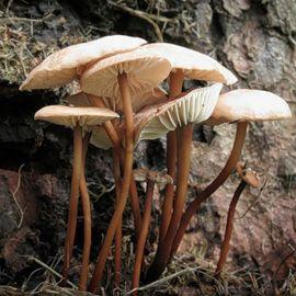 Чесночник обыкновенный (Негниючник обыкновенный) мицелий (УкрМицелий)