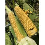 1801 F1 семена кукурузы суперсладкой Sh2 ранней 74-77дн. 25см (Lark Seeds)