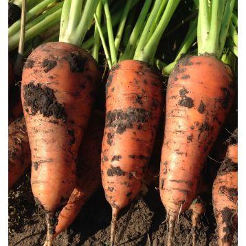 Йорк F1 (1,8-2) семена моркови Шантане средней (Lark Seeds)