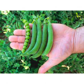 Олинда семена гороха овощного (Syngenta)