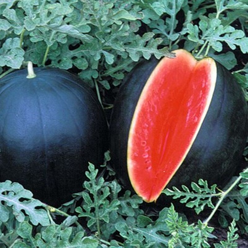 black-watermelon-japan
