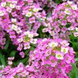 Розовый день семена алиссума (Hem Zaden)