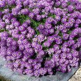 Фиолетовый король семена алиссума (Hem Zaden)