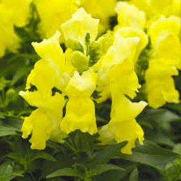 Антирринум карликовый Монтего F1 желтый семена однол. (Syngenta)