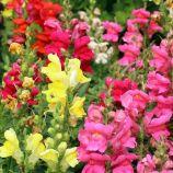 Радуга суміш (mix) насіння антірінума садового (Hem Zaden)