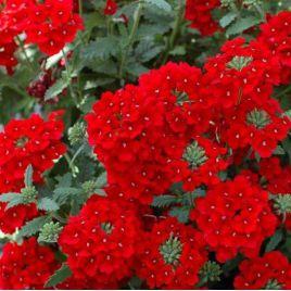 Красная семена вербены (Hem Zaden)