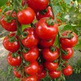 Виноградный семена томата индет. раннего 100-110 дн. 15-30 гр. окр. (Яскрава)