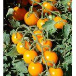 Золотой орех семена томата индет. среднего 105-110 дн. 30-50 гр. окр. желт. (Яскрава)