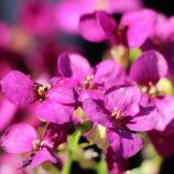 Лотти дип роуз темно-розовая семена арабиса (Pan American)