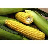Деликатесная семена кукурузы сахарной ранней (Яскрава)