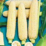 Сладкое Чудо F1 семена кукурузы сахарной ультраранней (Яскрава)
