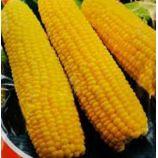 Мираж F1 семена кукурузы сахарной ультраранней (Яскрава)