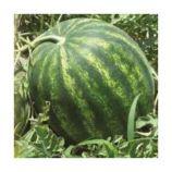 Галактика семена арбуза тип кр.св. раннего 80 дней 10-12 кг (BT Tohum)