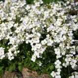 Кавказский белый семена арабиса многол. (Hem Zaden)